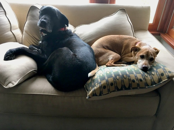 Dogs hanging out on the couch